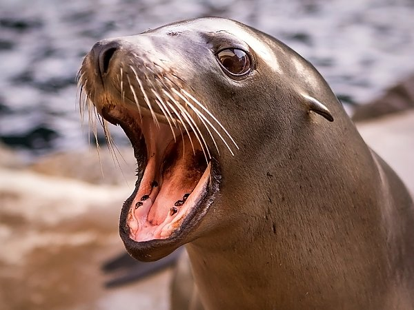 harpo sea lion with mouth open