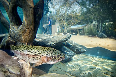 steelhead fish with exhibit in background - thumbnail